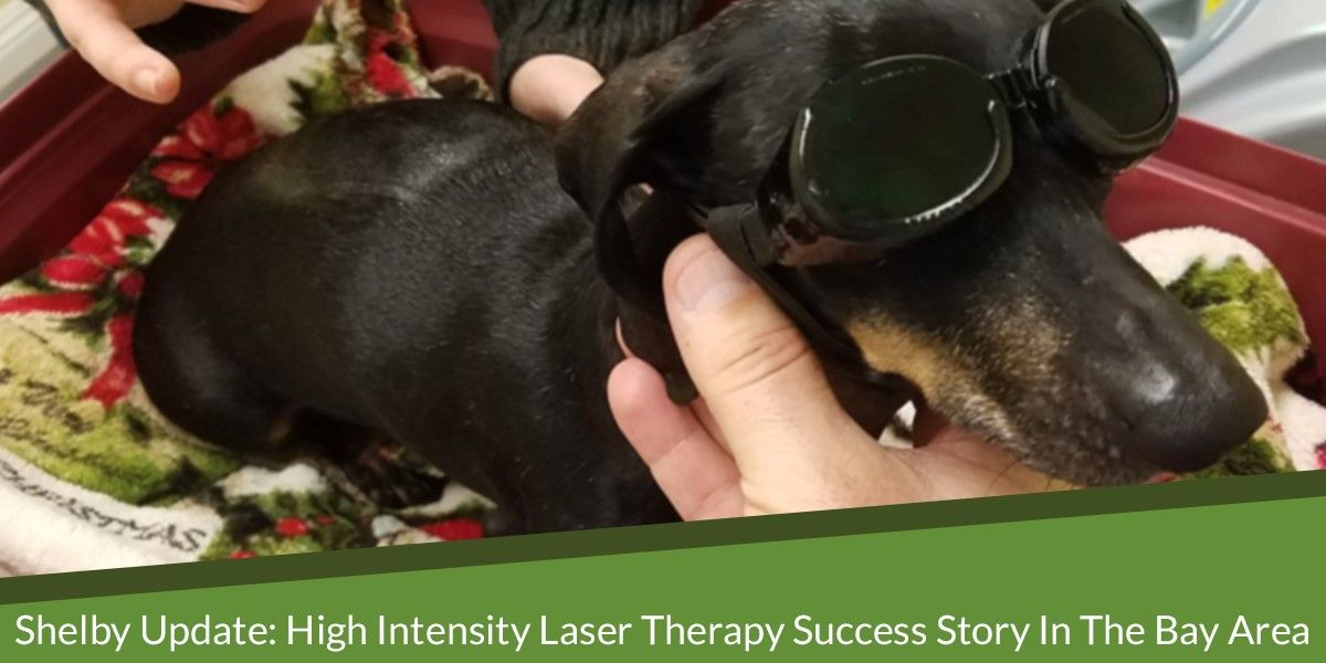 Shelby Update: High Intensity Laser Therapy Success Story in the Bay Area